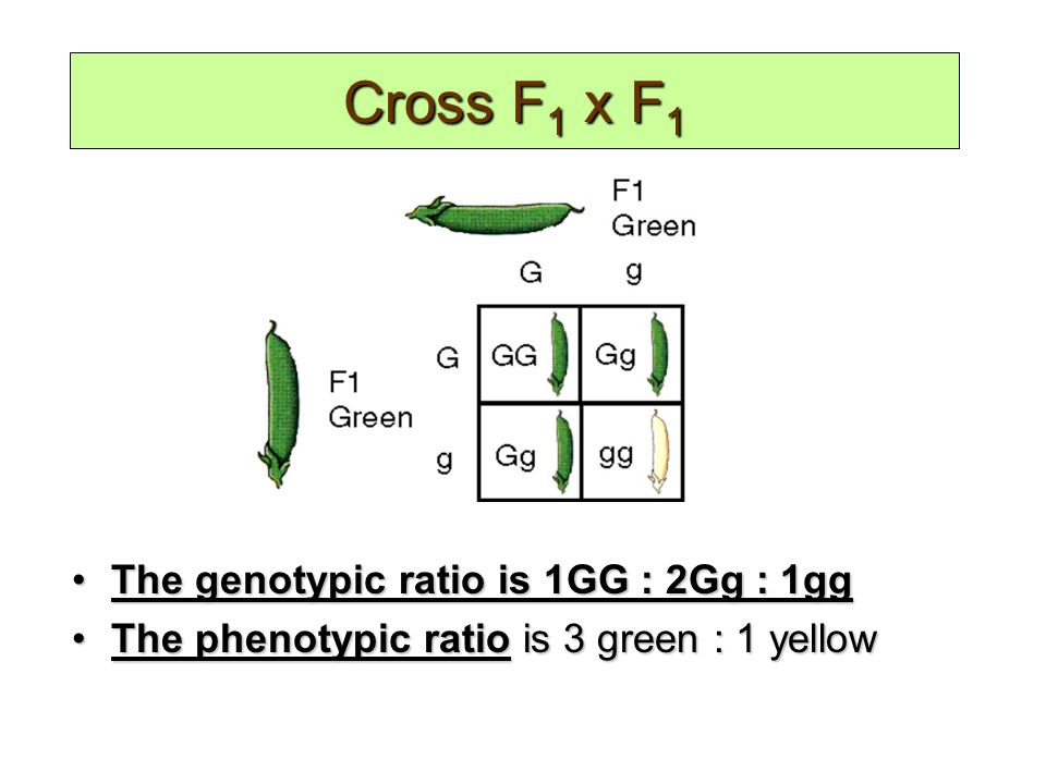 Genotypic and Phenotypic Ratios The genotypic ratio is 1GG : 2Gg : 1ggThe genotypic ratio is 1GG : 2Gg : 1gg The phenotypic ratio is 3 green : 1 yellowThe phenotypic ratio is 3 green : 1 yellow Cross F 1 x F 1