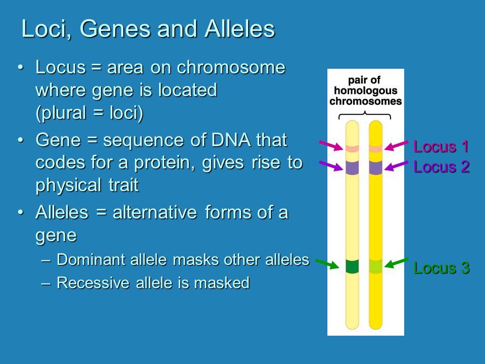 Loci, Genes and Alleles Locus = area on chromosome where gene is located (plural = loci)Locus = area on chromosome where gene is located (plural = loci) Gene = sequence of DNA that codes for a protein, gives rise to physical traitGene = sequence of DNA that codes for a protein, gives rise to physical trait Alleles = alternative forms of a geneAlleles = alternative forms of a gene –Dominant allele masks other alleles –Recessive allele is masked Locus 1 Locus 2 Locus 3