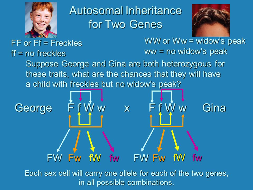 Autosomal Inheritance for Two Genes FF or Ff = Freckles ff = no freckles WW or Ww = widow's peak ww = no widow's peak George F f W w x F f W w Gina George F f W w x F f W w Gina Suppose George and Gina are both heterozygous for these traits, what are the chances that they will have a child with freckles but no widow's peak.