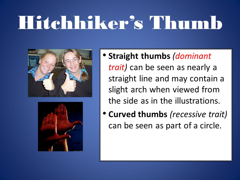 Hitchhiker's Thumb Straight thumbs (dominant trait) can be seen as nearly a straight line and may contain a slight arch when viewed from the side as i