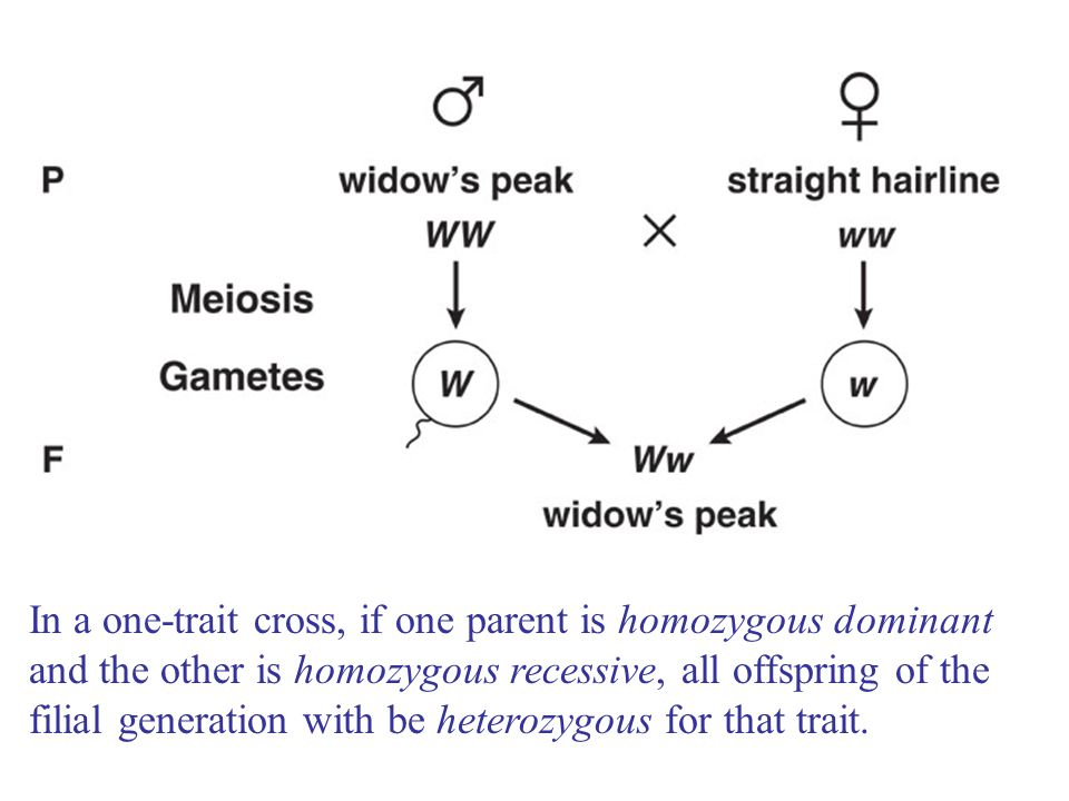 In a one-trait cross, if one parent is homozygous dominant and the other is homozygous recessive, all offspring of the filial generation with be heter