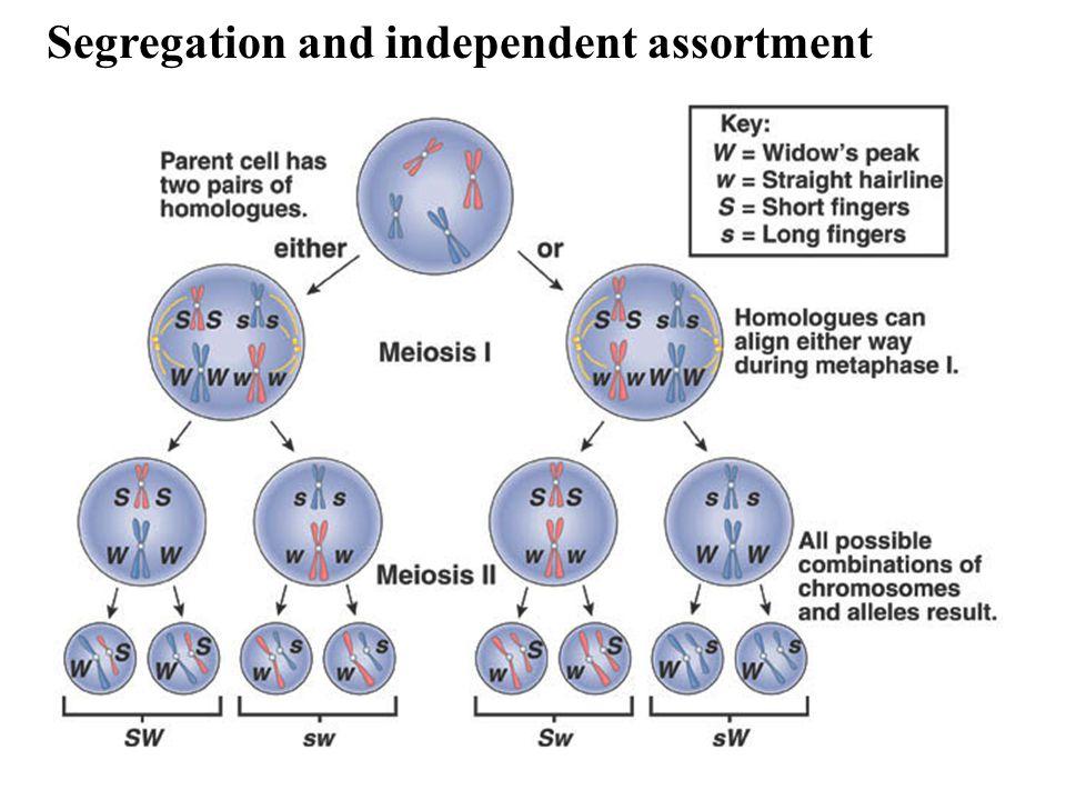 Segregation and independent assortment