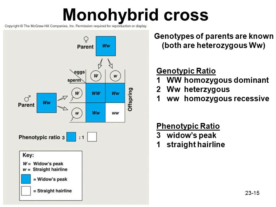 23-15 Monohybrid cross Genotypes of parents are known (both are heterozygous Ww) Genotypic Ratio 1WWhomozygous dominant 2Wwheterzygous 1wwhomozygous recessive Phenotypic Ratio 3widow's peak 1straight hairline