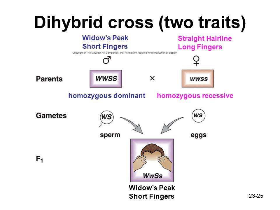 23-25 Dihybrid cross (two traits) Widow's Peak Short Fingers Straight Hairline Long Fingers Widow's Peak Short Fingers homozygous dominanthomozygous recessive