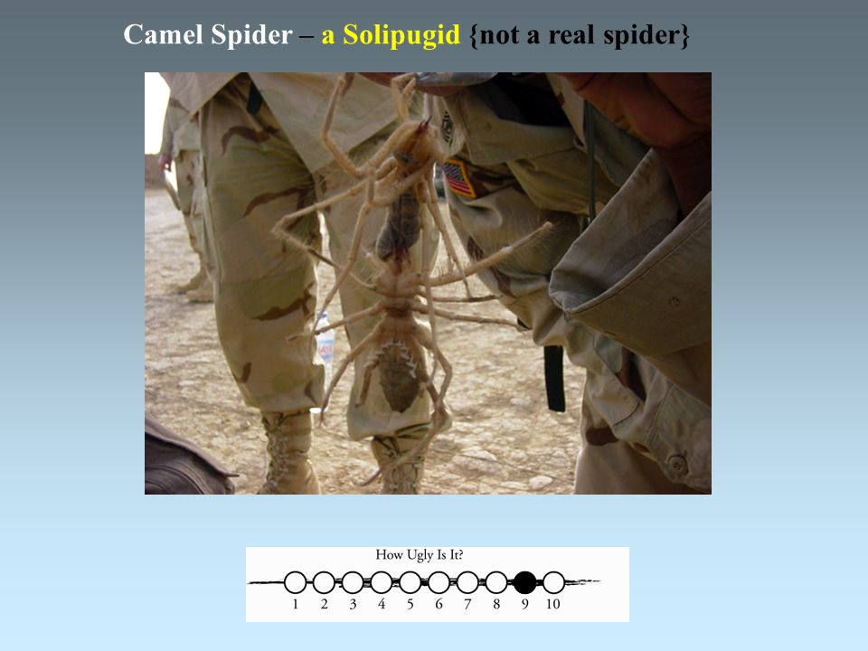 Camel Spider – a Solipugid {not a real spider}