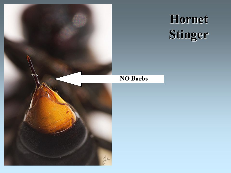 Hornet Stinger NO Barbs