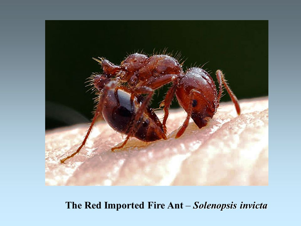 Solenopsis invicta The Red Imported Fire Ant – Solenopsis invicta