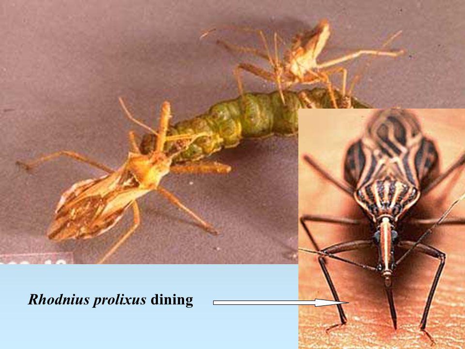 Rhodnius prolixus dining
