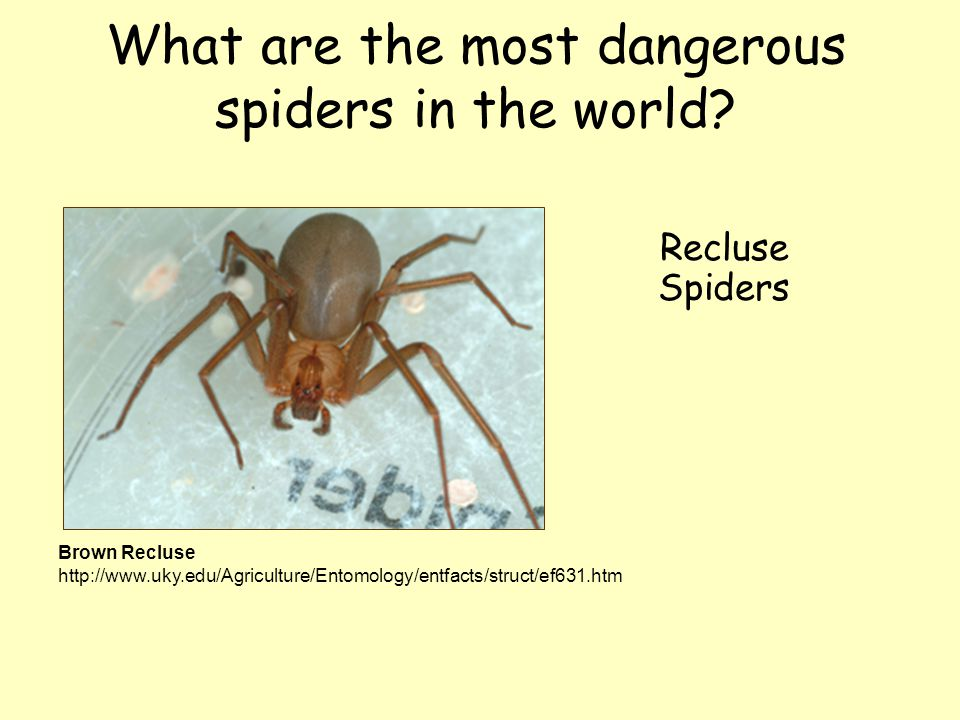 What are the most dangerous spiders in the world? Recluse Spiders Brown Recluse http://www.uky.edu/Agriculture/Entomology/entfacts/struct/ef631.htm