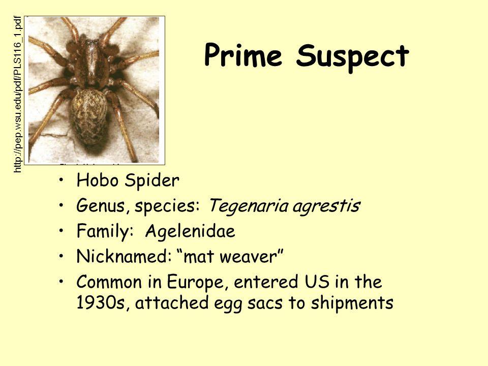 Prime Suspect Hobo Spider Genus, species: Tegenaria agrestis Family: Agelenidae Nicknamed: mat weaver Common in Europe, entered US in the 1930s, attached egg sacs to shipments http://pep.wsu.edu/pdf/PLS116_1.pdf