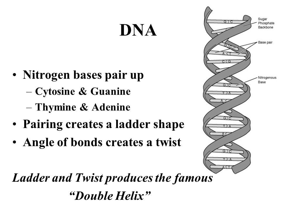 DNA Nitrogen bases pair up –Cytosine & Guanine –Thymine & Adenine Pairing creates a ladder shape Angle of bonds creates a twist Ladder and Twist produ
