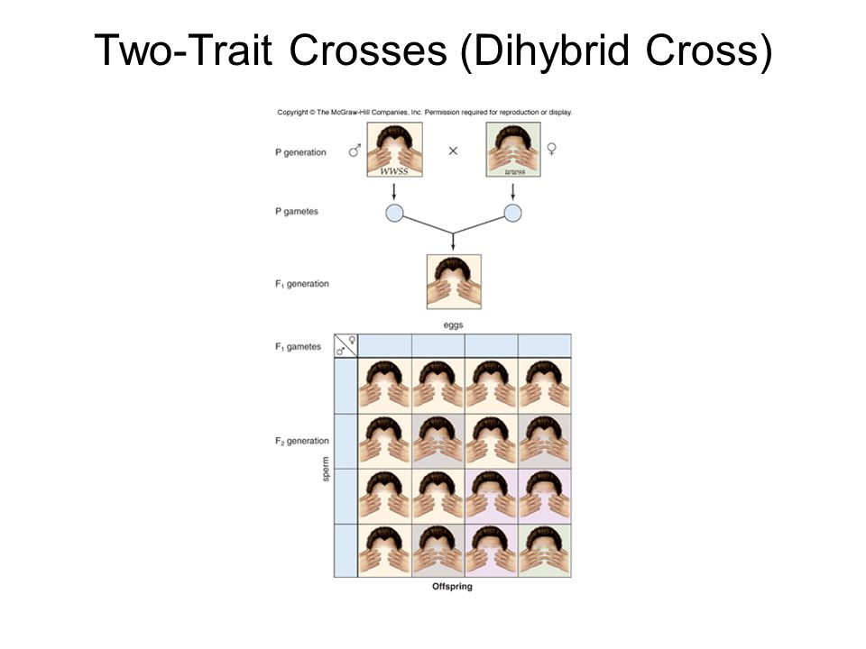 Two-Trait Crosses (Dihybrid Cross)