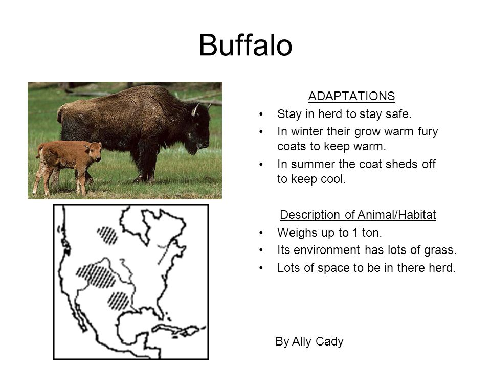 Buffalo ADAPTATIONS Stay in herd to stay safe. In winter their grow warm fury coats to keep warm. In summer the coat sheds off to keep cool. By Ally C