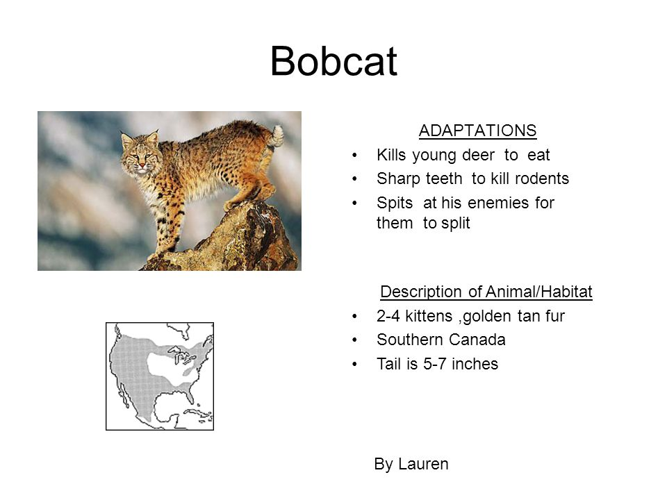 Bobcat ADAPTATIONS Kills young deer to eat Sharp teeth to kill rodents Spits at his enemies for them to split By Lauren Description of Animal/Habitat