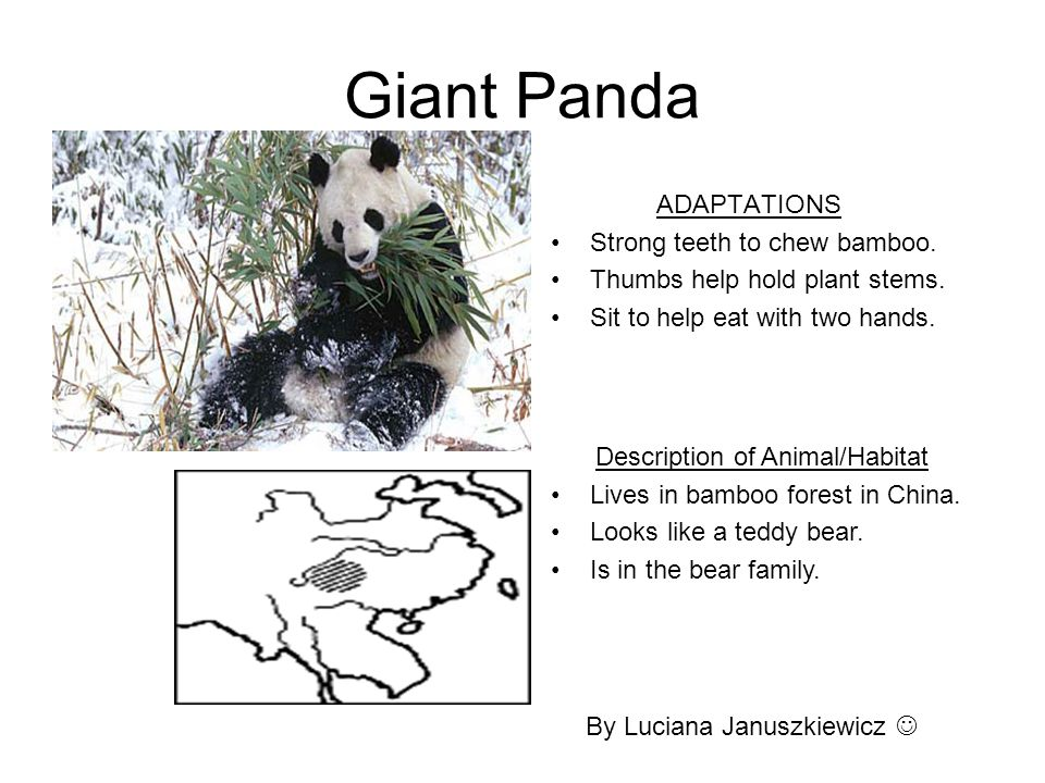 Giant Panda ADAPTATIONS Strong teeth to chew bamboo. Thumbs help hold plant stems. Sit to help eat with two hands. By Luciana Januszkiewicz Descriptio