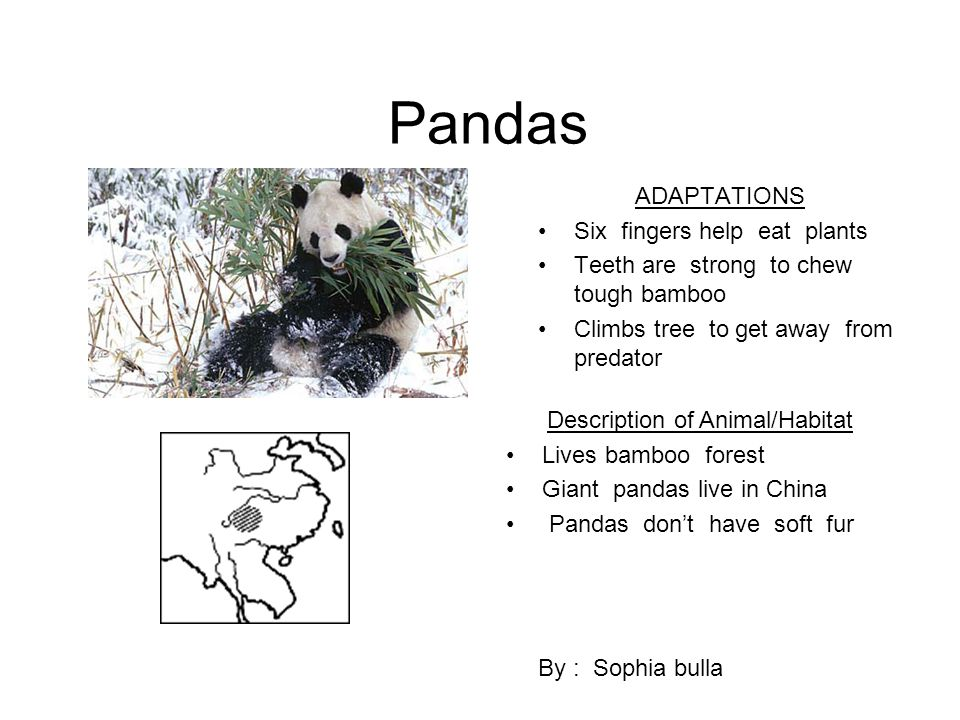 Pandas ADAPTATIONS Six fingers help eat plants Teeth are strong to chew tough bamboo Climbs tree to get away from predator By : Sophia bulla Descripti