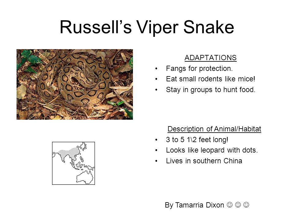 Russell's Viper Snake ADAPTATIONS Fangs for protection. Eat small rodents like mice! Stay in groups to hunt food. By Tamarria Dixon Description of Ani