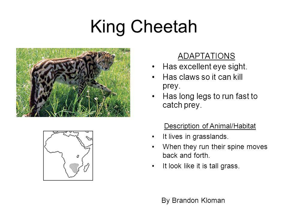 King Cheetah ADAPTATIONS Has excellent eye sight. Has claws so it can kill prey. Has long legs to run fast to catch prey. By Brandon Kloman Descriptio