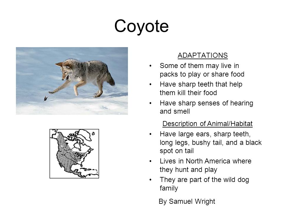Coyote ADAPTATIONS Some of them may live in packs to play or share food Have sharp teeth that help them kill their food Have sharp senses of hearing a