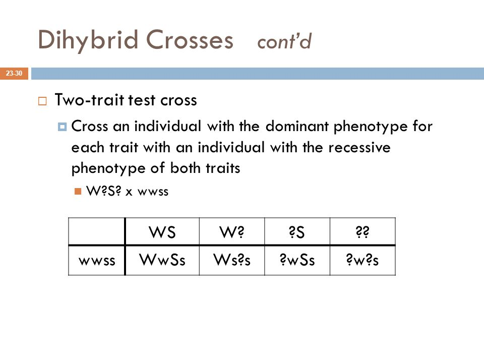 Dihybrid Crosses cont'd 23-30  Two-trait test cross  Cross an individual with the dominant phenotype for each trait with an individual with the recessive phenotype of both traits W?S.