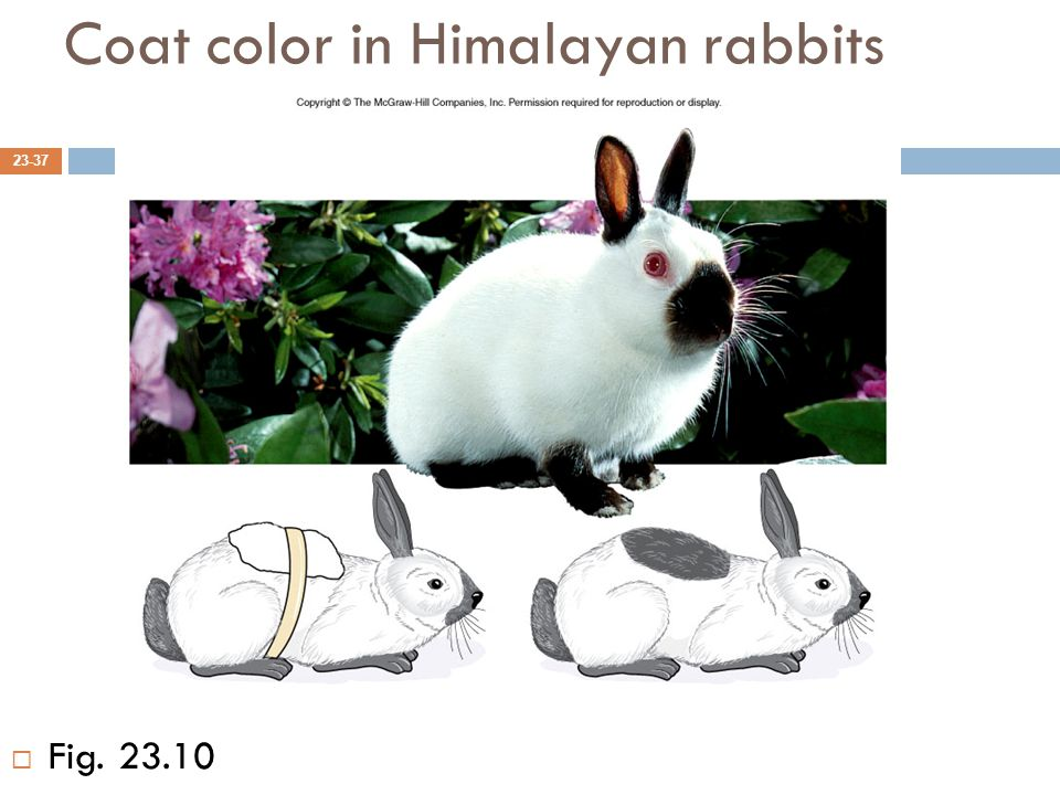 Coat color in Himalayan rabbits 23-37  Fig. 23.10