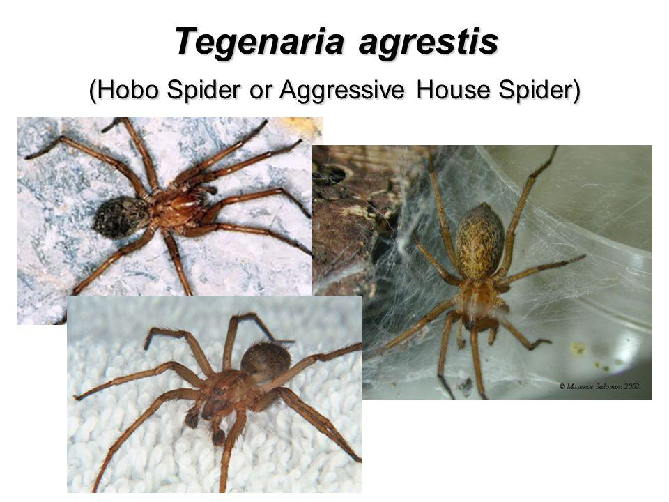 Tegenaria agrestis (Hobo Spider or Aggressive House Spider)