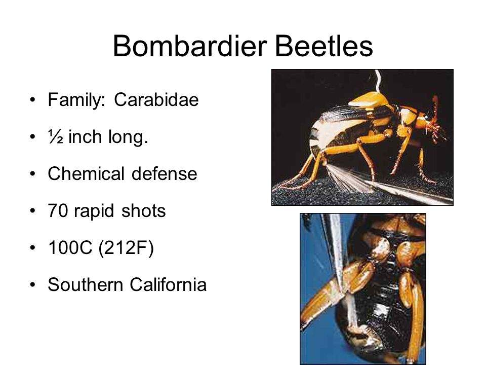 Bombardier Beetles Family: Carabidae ½ inch long. Chemical defense 70 rapid shots 100C (212F) Southern California