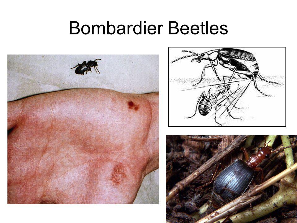 Bombardier Beetles