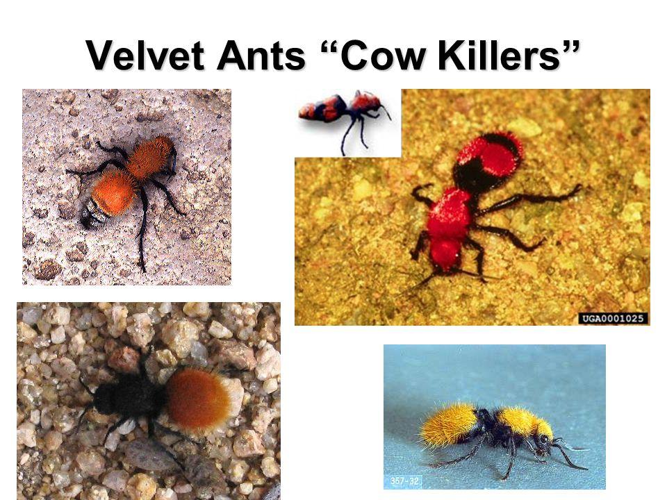 Velvet Ants Cow Killers