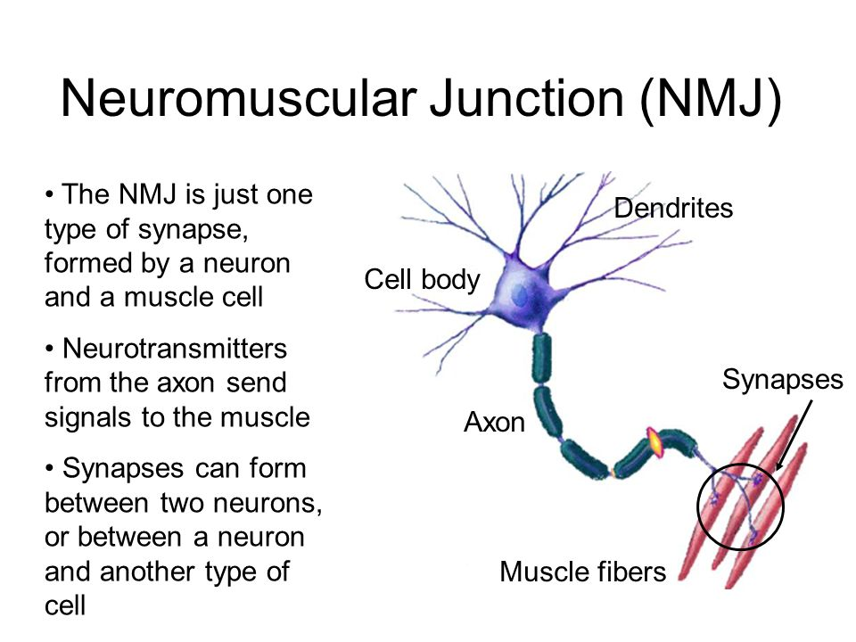Bite Me Neurons synapses and the venomous creatures that take – Neuron and Neuromuscular Junction Worksheet