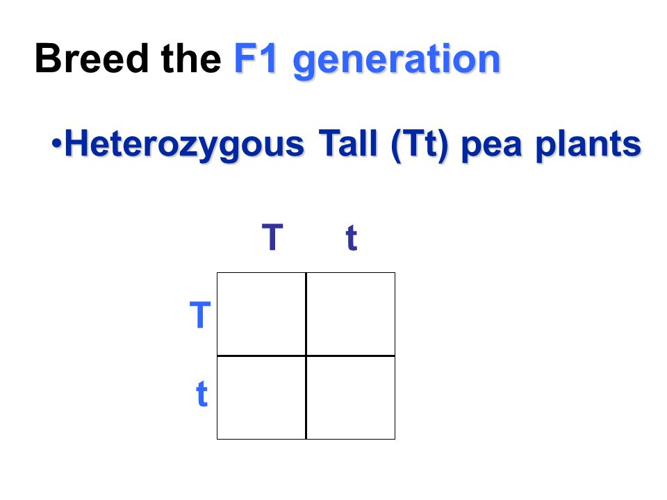 F1 generation Breed the F1 generation Heterozygous Tall (Tt) pea plantsHeterozygous Tall (Tt) pea plants T t T t