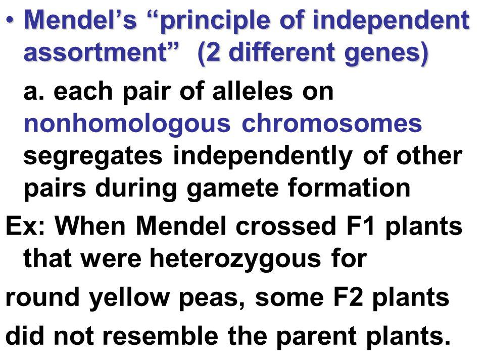 "Mendel's ""principle of independent assortment"" (2 different genes)Mendel's ""principle of independent assortment"" (2 different genes) a.each pair of al"