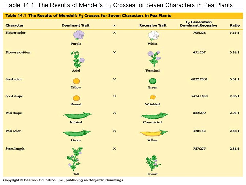 Table 14.1 The Results of Mendel's F 1 Crosses for Seven Characters in Pea Plants
