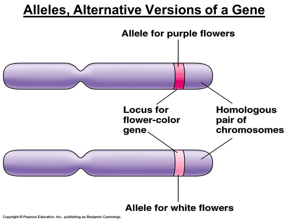Alleles, Alternative Versions of a Gene