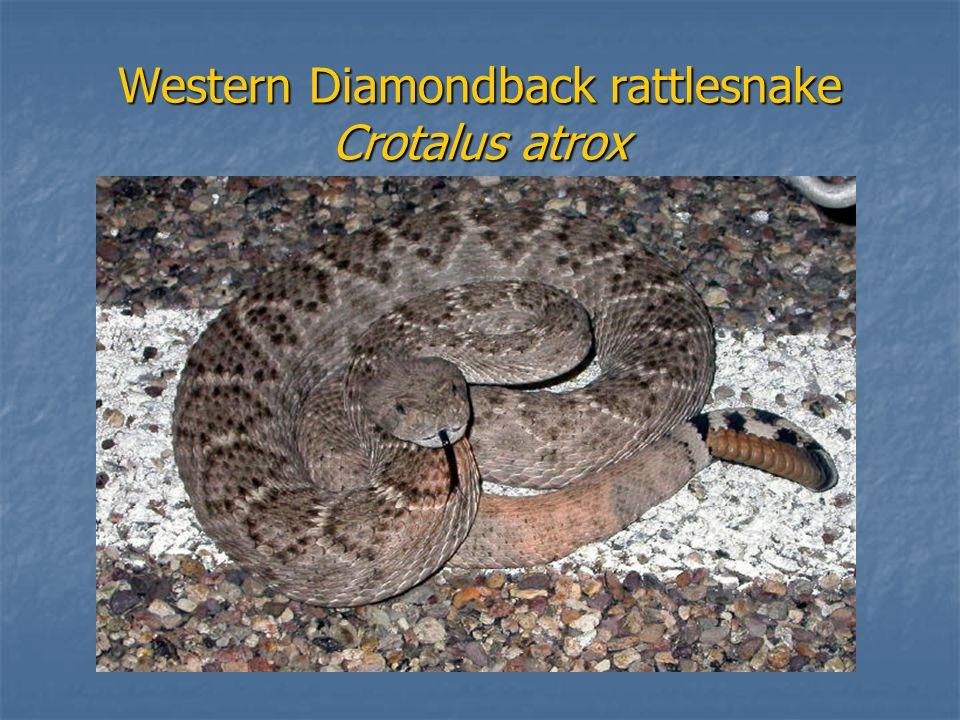 Western Diamondback rattlesnake Crotalus atrox