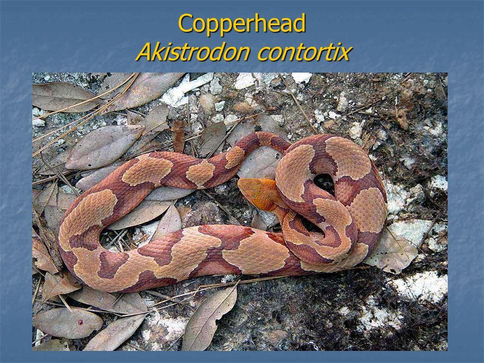 Copperhead Akistrodon contortix