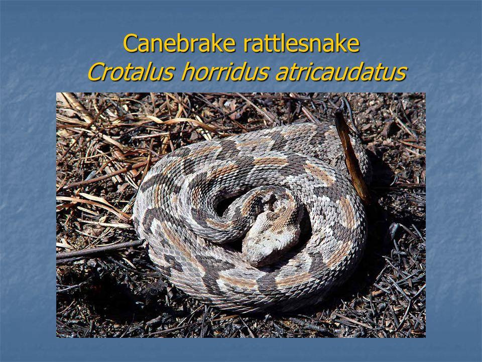 Canebrake rattlesnake Crotalus horridus atricaudatus