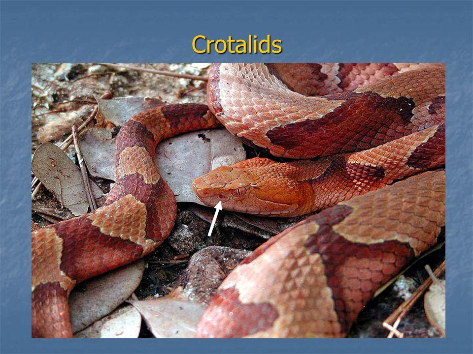 Crotalids