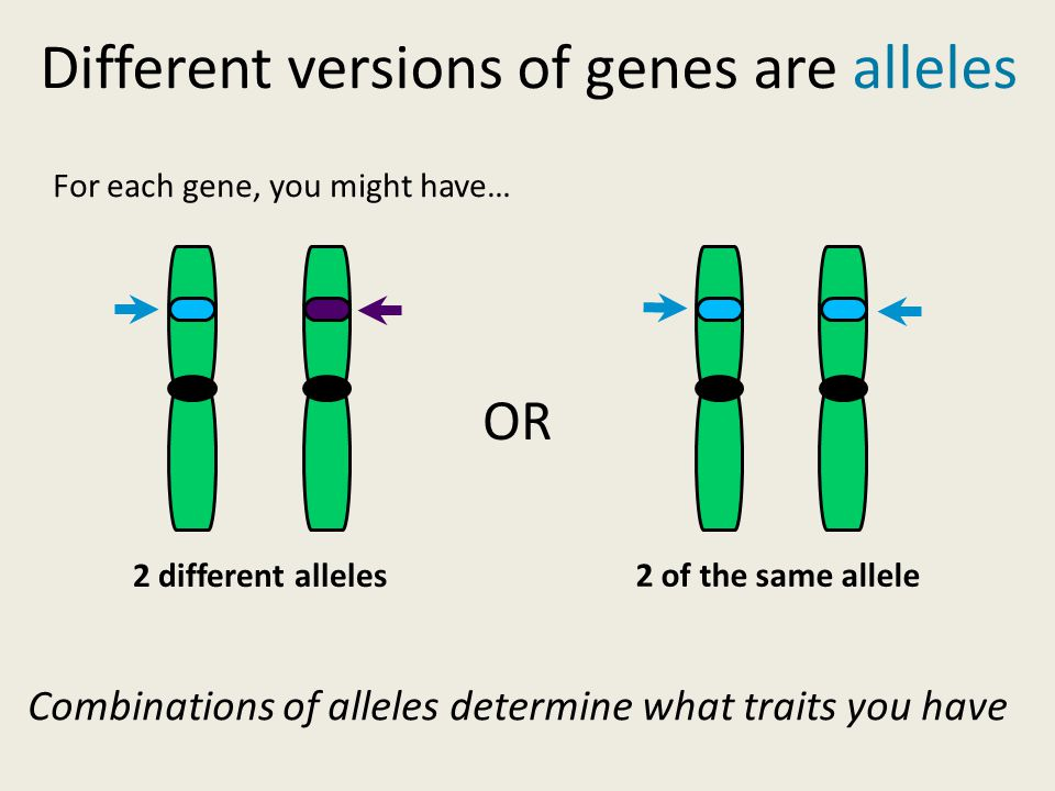 2 different alleles 2 of the same allele OR Different versions of genes are alleles For each gene, you might have… Combinations of alleles determine what traits you have