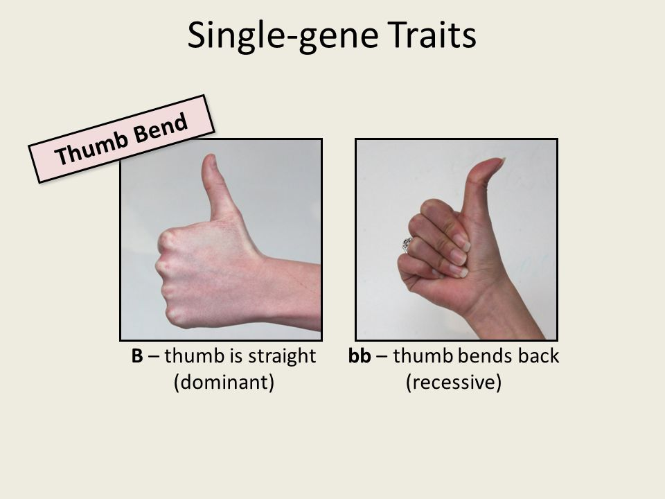 Single-gene Traits B – thumb is straight (dominant) bb – thumb bends back (recessive) Thumb Bend
