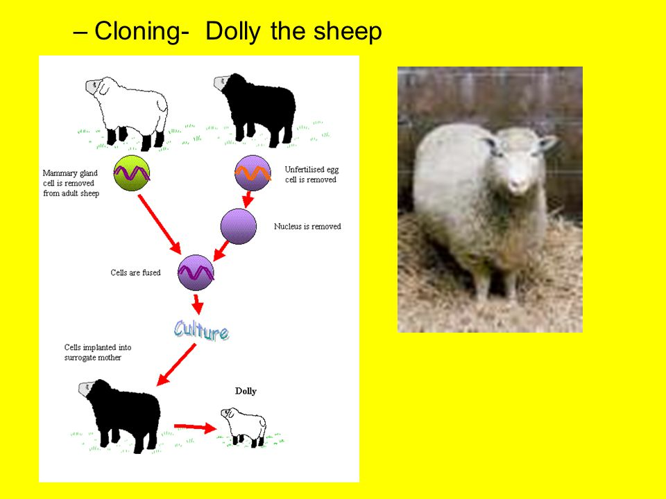 –Cloning- Dolly the sheep