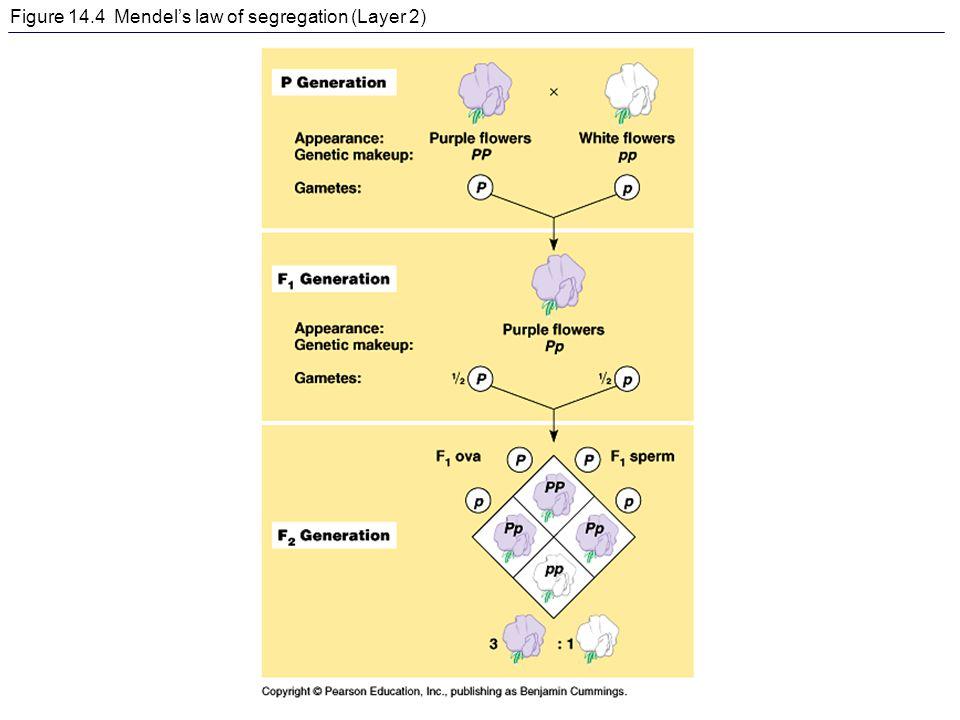 Figure 14.4 Mendel's law of segregation (Layer 2)