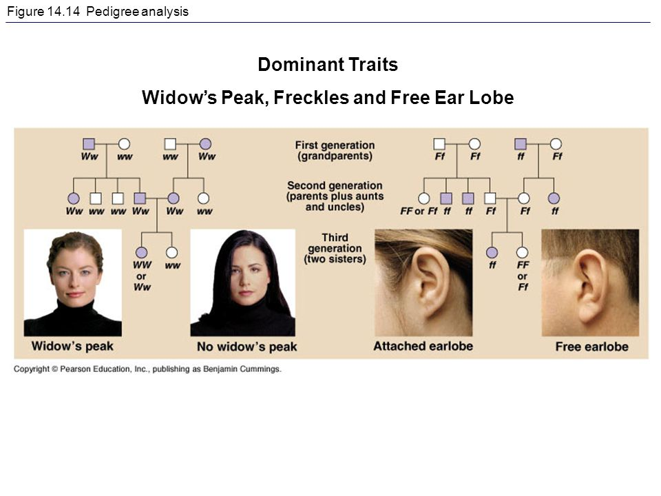 Figure 14.14 Pedigree analysis Dominant Traits Widow's Peak, Freckles and Free Ear Lobe