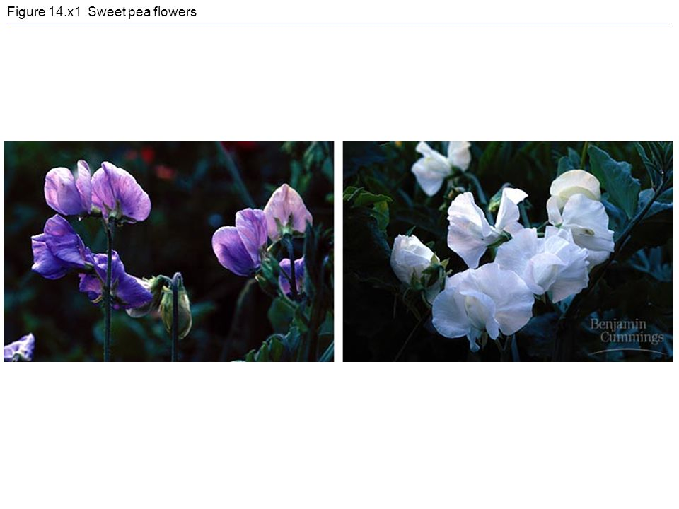 Figure 14.x1 Sweet pea flowers