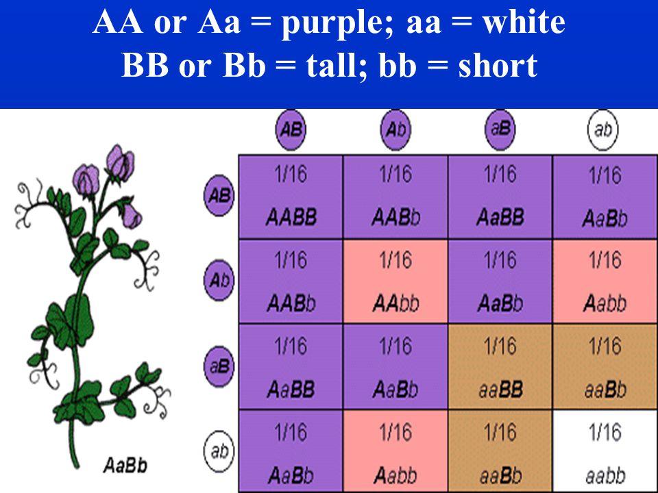 AA or Aa = purple; aa = white BB or Bb = tall; bb = short