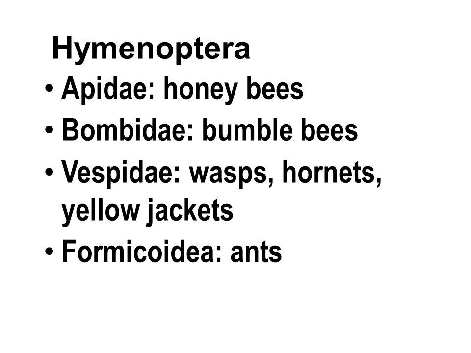 Apidae: honey bees Bombidae: bumble bees Vespidae: wasps, hornets, yellow jackets Formicoidea: ants