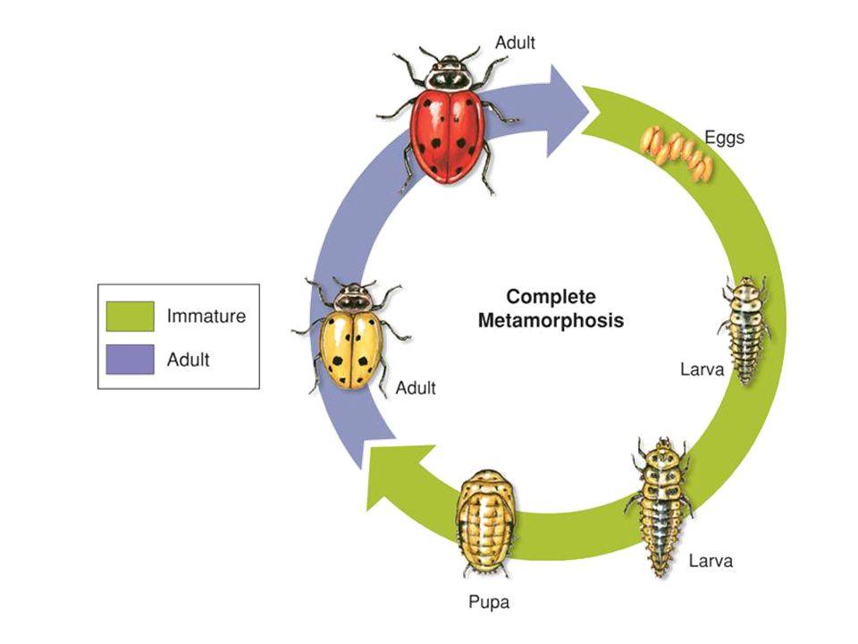 Complete Metamorphosis Most insects such as: butterflies, beetles, ants, bees, moths & flies develop through complete Metamorphosis.