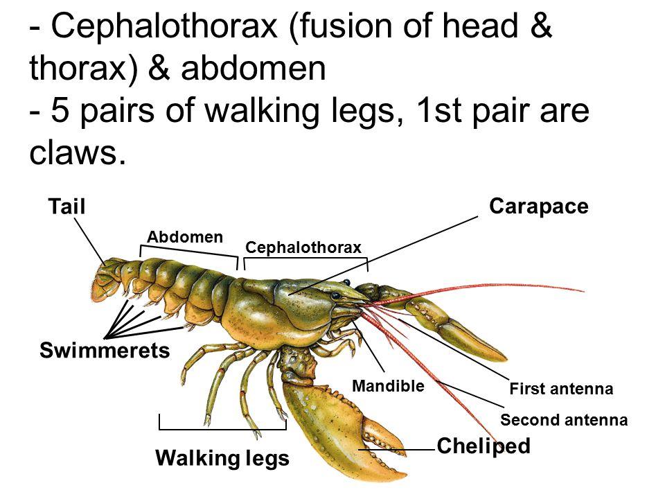 Crustaceans Crabs, crayfish, lobsters, shrimp, barnacles, water fleas, & pill bugs.