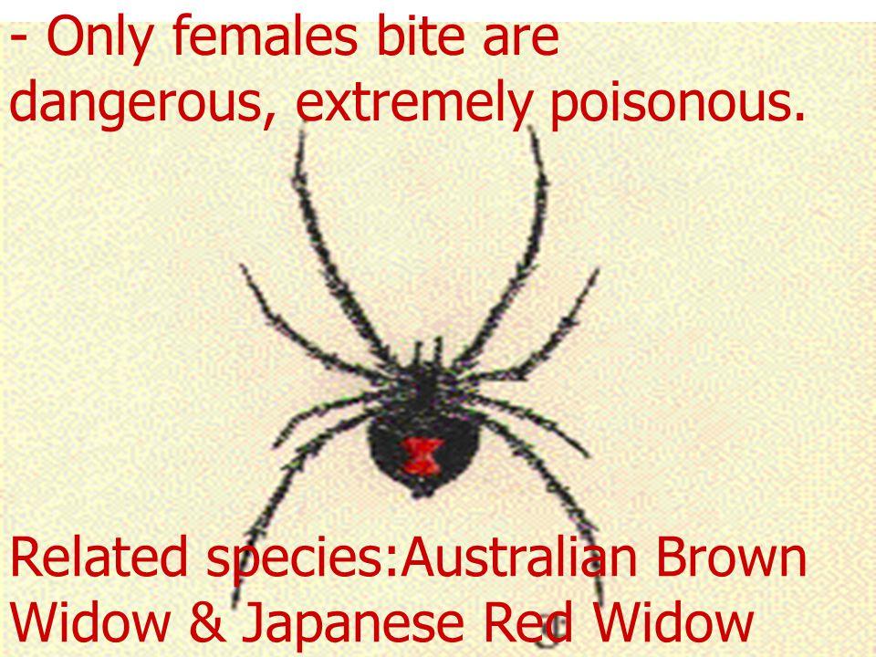 Black Widow Latrodectus mactrans - Black Widow. Red hour glass design on abdomen.