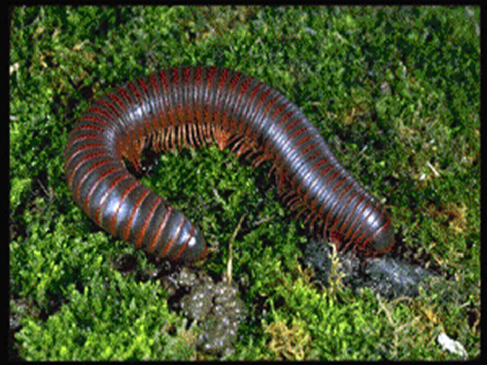 Millipedes Round bodies with 2 pairs of legs per body segment.